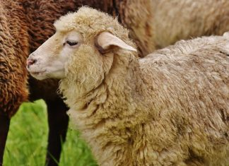 Sheep-Human Hybrid to Feed Growing Organ Demand